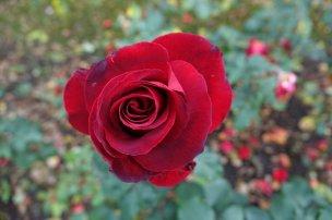 Un peu de couleurs à Berne au jardin des roses