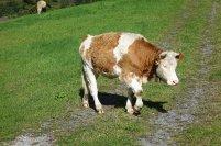 Cueillette, la vache à cloche